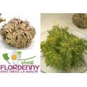 ROSA DI JERICHO MEDIUM KIT 10 PIANTE jerico gericho gerico salaginella lepidophylla