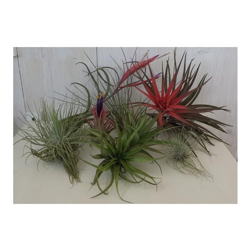 Kit 5 piante di tillandsia pianta dell 39 aria antismog - Piante antismog ...