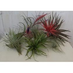 KIT 10 PIANTE DI TILLANDSIA pianta dell' aria antismog pianta tillandsie