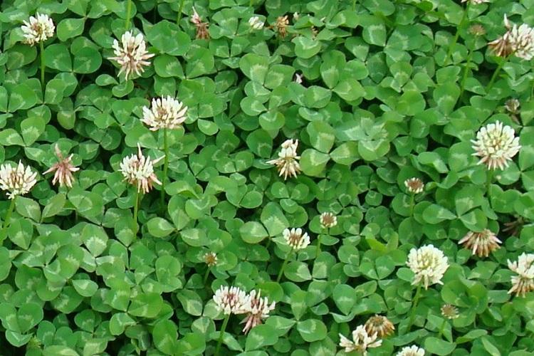 trifolium_repens5.jpg